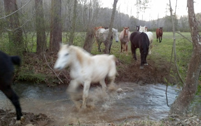 Horses Crossing Creek