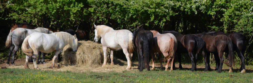Sanctuary Horses at Iron Gait Percherons